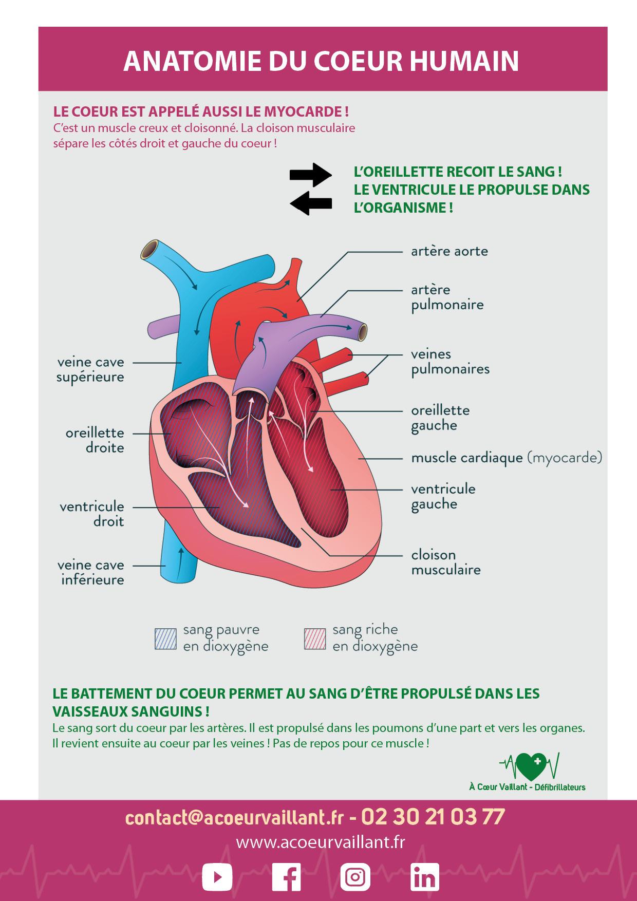Anatomie du coeur humain ACV